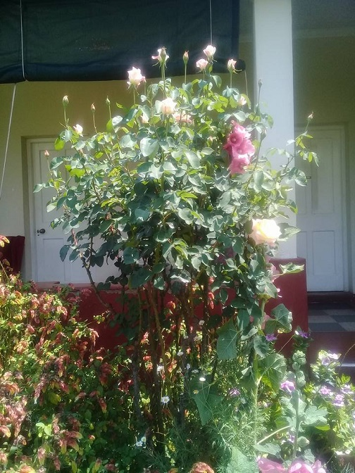 at_oah_qm_ret_queen_mary_house_garden_roses_blooming.JPG
